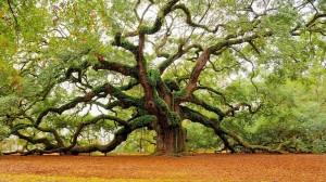 тысячелетний дуб
