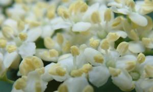 цветы бузины черной