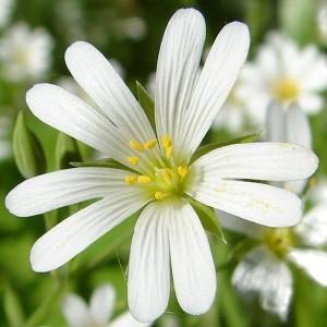 крупный цветок мокрицы