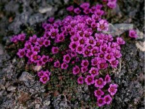 фиолетовые цветы камнеломки