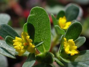 желтые цветы портулака огородного