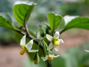белые цветы паслена черного
