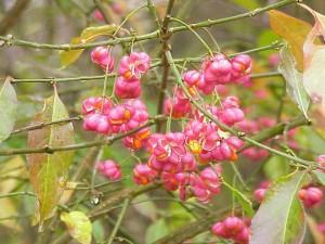 розовые цветы бересклета