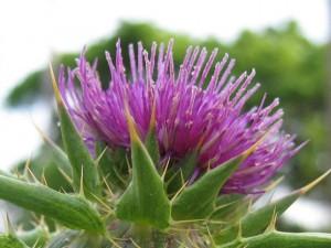 цветок татарника колючего