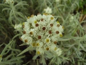 соцветие сушеницы топяной