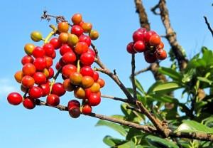 неспелые плоды лавровишни