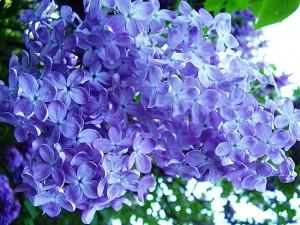 синие цветы сирени