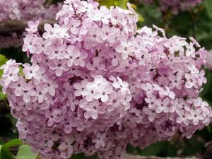 сиреневые цветы сирени