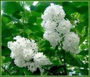 белые цветы сирени