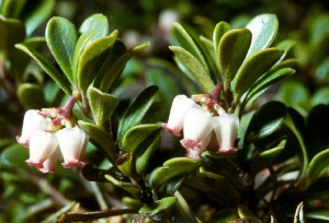 цветки толокнянки