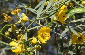 желтые цветы сенны