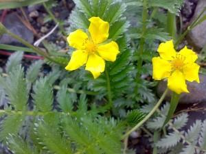 два цветка лапчатки гусиной