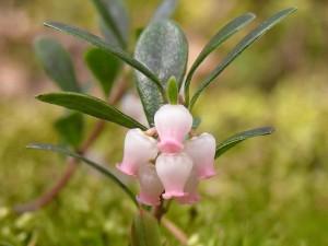 одиночный цветок толокнянки
