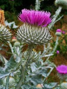 фиолетовый цветок репея колючего