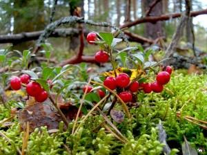 ягоды толокнянки на ветках