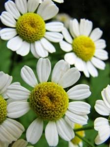 распустившиеся цветы ромашек
