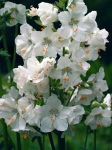 белые цветки синюхи