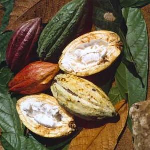 плоды какао изнутри