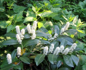 цветы лавровишни