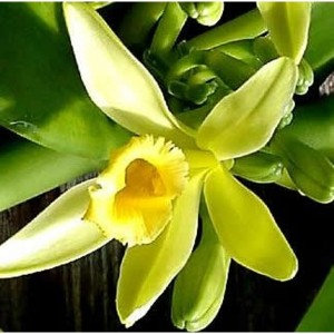 цветок ванили