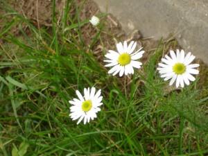 три цветка ромашки