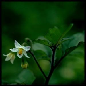 один цветок паслена