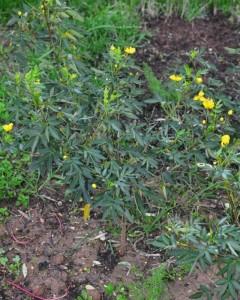 сенна в огороде