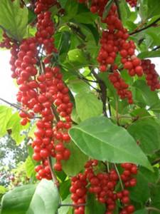 урожай лимонника на ветвях