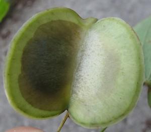 плод диаскореи