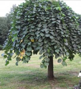 дерево вяз