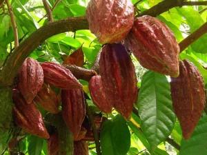 спелые плоды какао