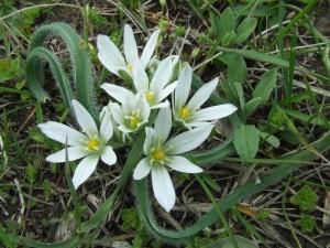 цветущий индийский лук