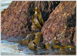 морская капуста на берегу