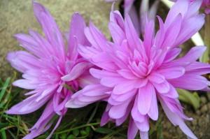 крупные цветы безвременника