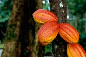 три плода какао