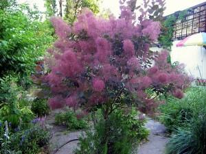 дерево скумпия