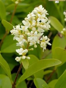 цветущая ветка бирючины обыкновенной