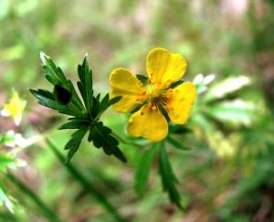крупный цветок калгана