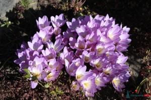 много цветов безвременника