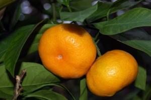 два мандарина на дереве