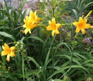 куст желтого лилейника