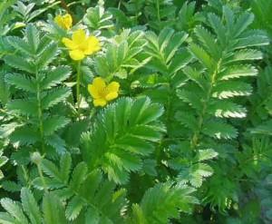 желтые цветки лапчатки гусиной