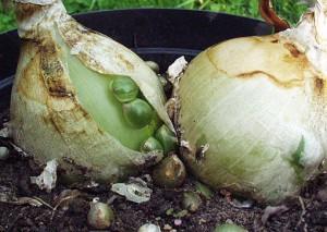 луковицы индийского лука
