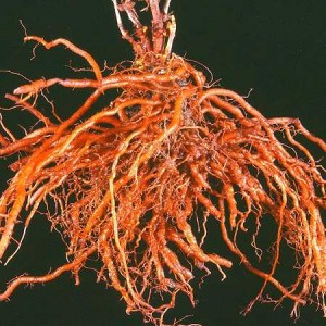 корень марены красильной