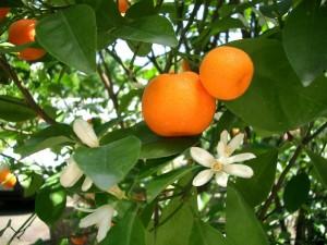 цветущее дерево мандарин