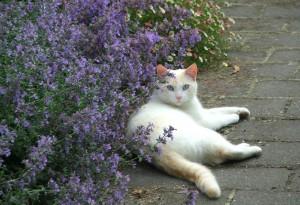 кошачья мята с котом