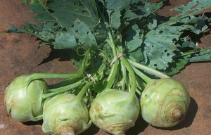 четыре капусты кольраби