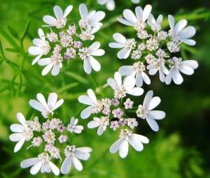 крупные цветы кориандра