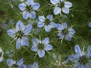 голубые цветы черного тмина