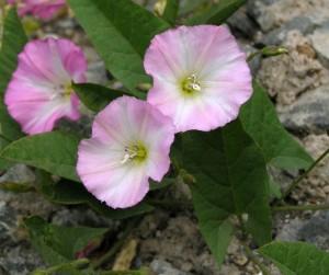 цветки вьюнка